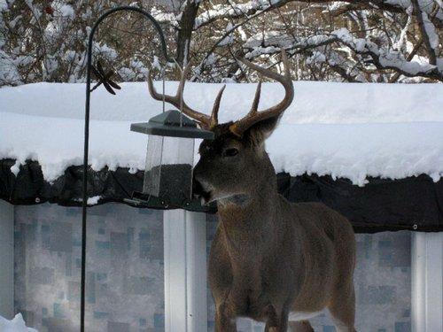 buck at neighbor's backyard feeder