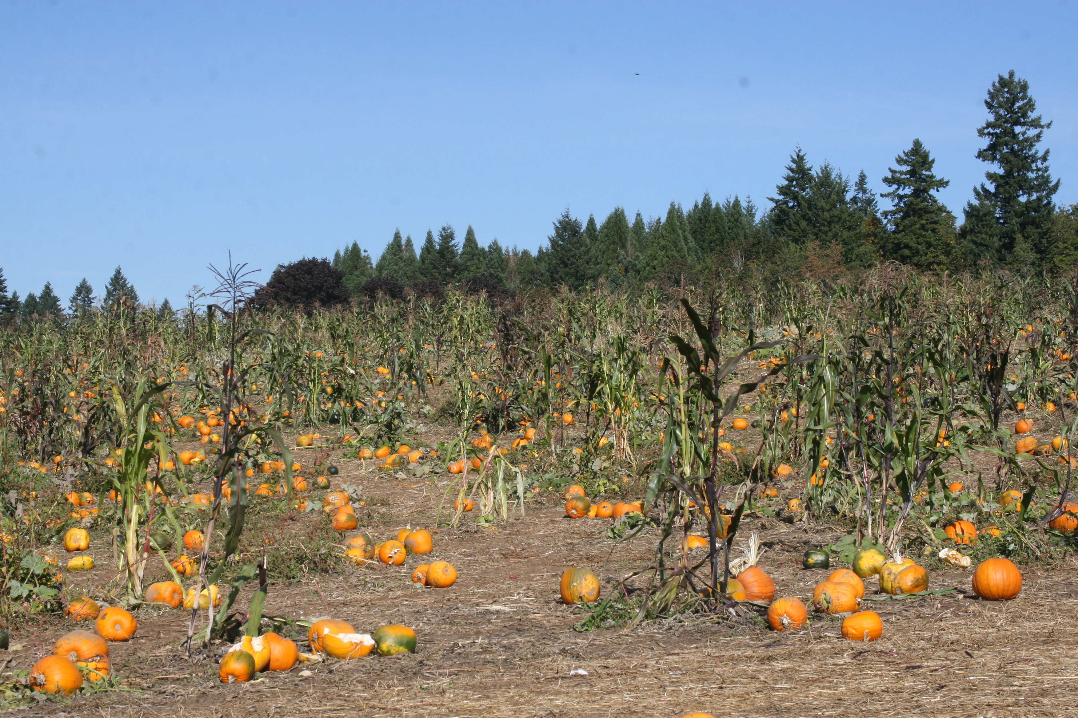 Our outing to the pumpkin patch on Sauvie Island in Willamette River