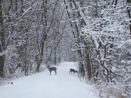 Deer in our woods in fluffy snow